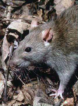 Rattus norvegicus, the brown rat; image from Wikimedia Commons